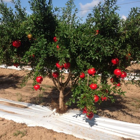 Sale Plant Pomegranate Wonderful One