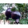 Pianta di melograno viola (varietà rara)