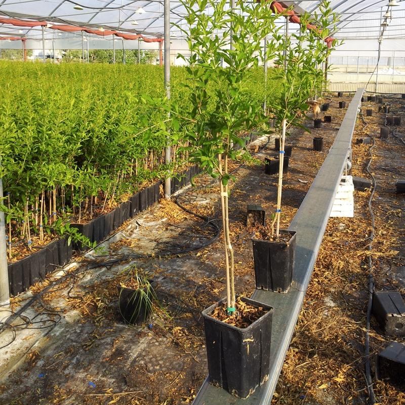 Piante Di Goji Prezzi : Vendita pianta di melograno ako akko acco aco